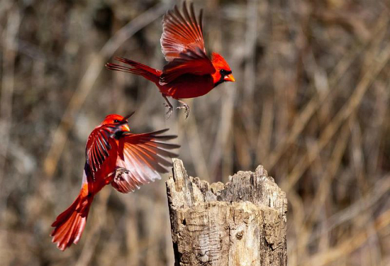 Two Male Cardinals Delaware