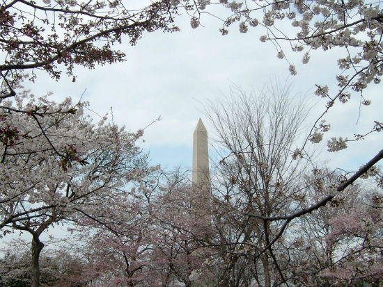 Washington Monument Cherry Blossoms