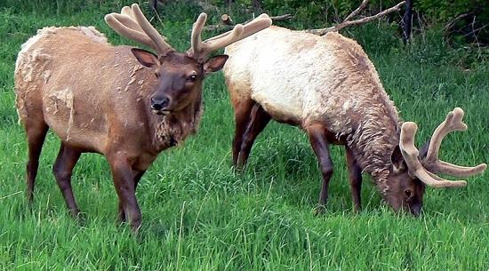 Elk In Nebraska